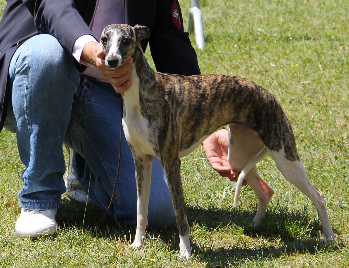 whippet_Jamaica_02