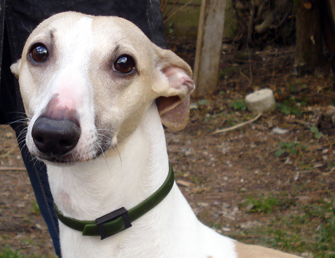 whippet_Quentin_02
