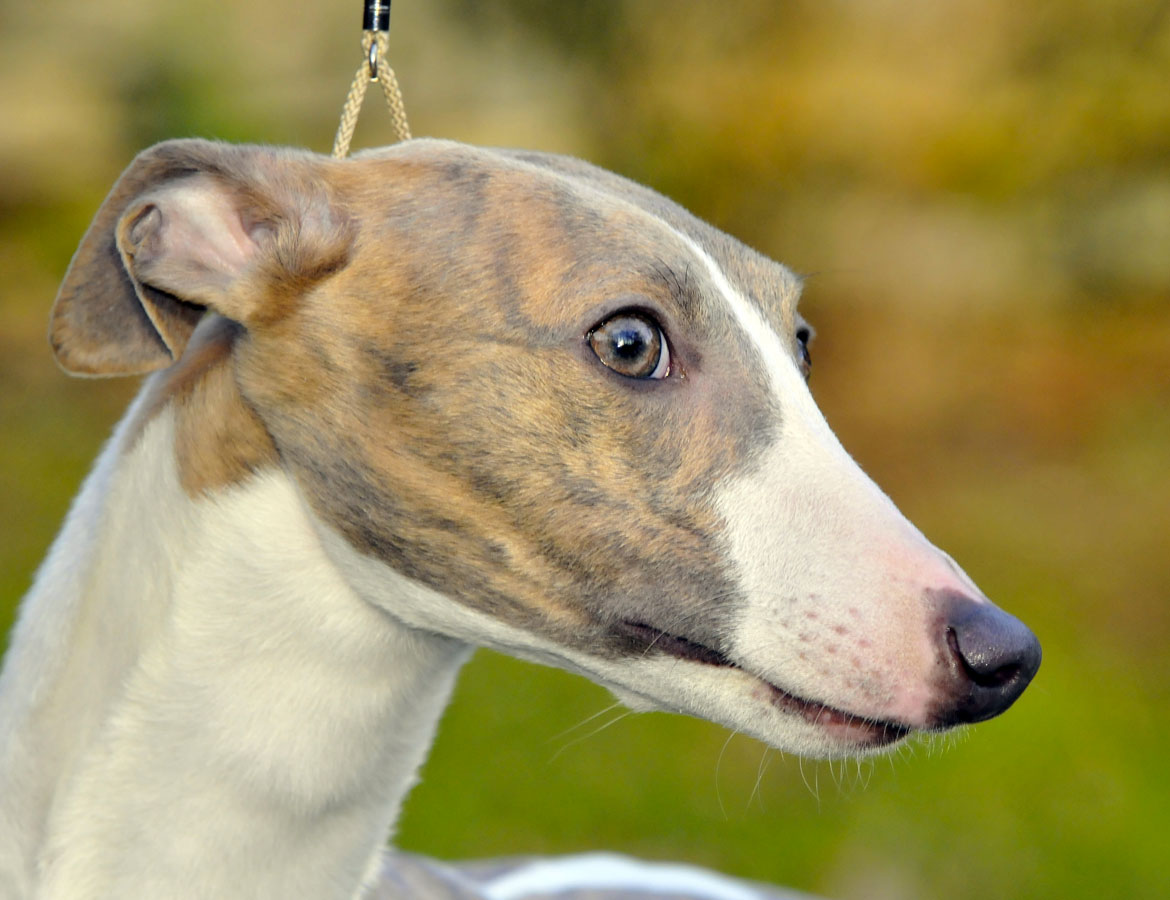 whippet_feeby_01